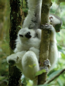 silky sifakas