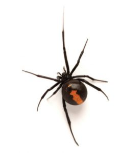 Red-Backed spider