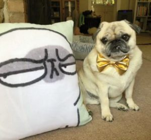 A pug poses next to a pillow with a pug face.